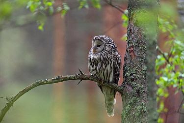 Ural Owl (Strix uralensis), Tartumaa, Estonia  -  Sven Zacek/ NiS