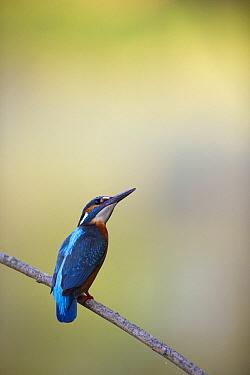 Common Kingfisher (Alcedo atthis), Tartumaa, Estonia  -  Sven Zacek/ NiS
