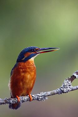 Common Kingfisher (Alcedo atthis) calling, Tartumaa, Estonia  -  Sven Zacek/ NiS