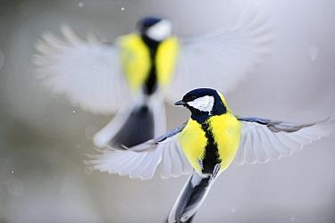 Great Tit (Parus major) pair flying, Virumaa, Estonia  -  Sven Zacek/ NiS