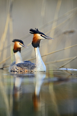 Great Crested Grebe (Podiceps cristatus) pair in courtship ritual, Valgamaa, Estonia  -  Sven Zacek/ NiS