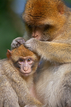 Barbary Macaque (Macaca sylvanus) mother grooming baby, Salem, Lake Constance, Germany  -  Heike Odermatt