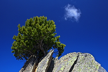 Mountain Pine (Pinus mugo) on a rock, Bernese Alps, Valais, Switzerland  -  Heike Odermatt