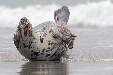 Grey Seal (Halichoerus grypus) on beach, Helgoland, Germany  -  Heike Odermatt