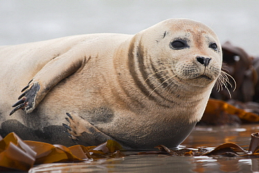 Harbor Seal (Phoca vitulina) on beach laying amid kelp, Helgoland, Germany  -  Heike Odermatt