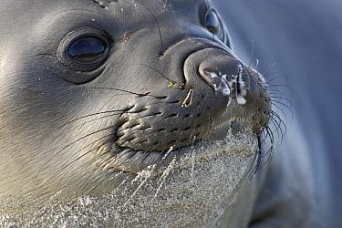 Southern Elephant Seal (Mirounga leonina) juvenile, Falkland Islands  -  Heike Odermatt