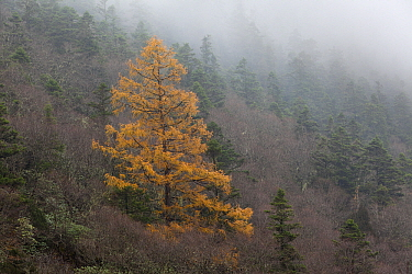 Larch (Larix sp) in autumn color in forest, Huanglong, Sichuan, China  -  Chris Stenger/ Buiten-beeld
