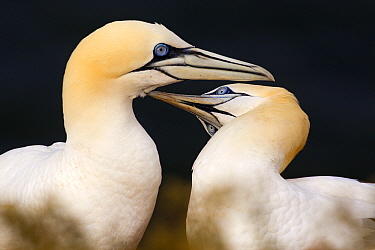 Northern Gannet (Morus bassanus) couple preening each other, Helgoland, Germany  -  Chris Stenger/ Buiten-beeld