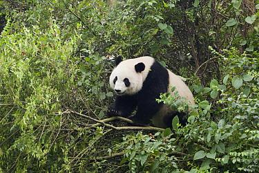 Giant Panda (Ailuropoda melanoleuca) climbing in tree, Chengdu Panda Breeding and Research Center, Chengdu, Sichuan, China  -  Chris Stenger/ Buiten-beeld