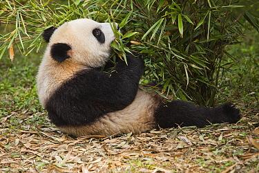 Giant Panda (Ailuropoda melanoleuca) juvenile feeding on bamboo, Chengdu Panda Breeding and Research Center, Chengdu, Sichuan, China  -  Chris Stenger/ Buiten-beeld