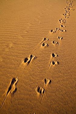 Springbok (Antidorcas marsupialis) tracks in the sand, Sossusvlei, Namib-Naukluft National Park, Namib Desert, Namibia  -  Vincent Grafhorst