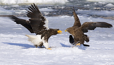 Steller's Sea Eagle (Haliaeetus pelagicus) fighting with a White-tailed Eagle (Haliaeetus albicilla), Hokkaido, Japan  -  Alexander  Koenders/ NiS