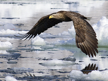 White-tailed Eagle (Haliaeetus albicilla) flying, Hokkaido, Japan  -  Alexander  Koenders/ NiS