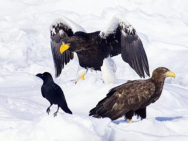 Steller's Sea Eagle (Haliaeetus pelagicus) with a White-tailed Eagle (Haliaeetus albicilla) and Large-billed Crow (Corvus macrorhynchos), Hokkaido, Japan  -  Alexander  Koenders/ NiS