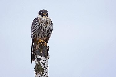 Eurasian Hobby (Falco subbuteo) perched on tree stump, Friesland, Netherlands  -  Henny Brandsma/ Buiten-beeld