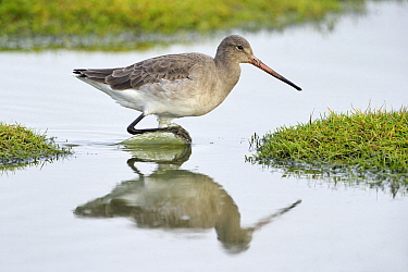 Black-tailed Godwit (Limosa limosa) wading, The Wash, England  -  Andre Gilden/ NIS