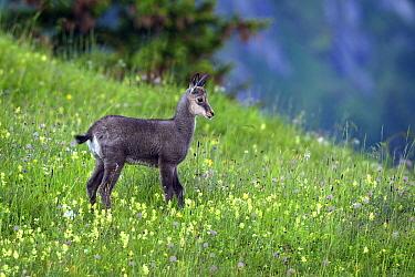 Chamois (Rupicapra rupicapra) juvenile in pasture, Belalp, Oberwallis, Switzerland  -  Michiel Vaartjes/ NiS