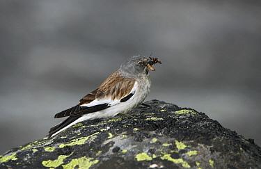 White-winged Snowfinch (Montifringilla nivalis) with insect prey, Belalp, Oberwallis, Switzerland  -  Michiel Vaartjes/ NiS