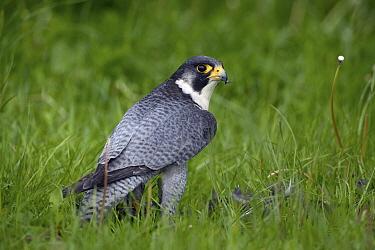 Peregrine Falcon (Falco peregrinus), Netherlands  -  Michiel Vaartjes/ NiS