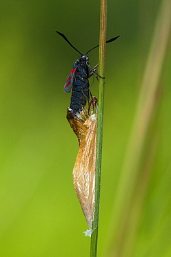 Six-spot Burnet (Zygaena filipendulae) moth emerging from coccoon, Ardennes, Belgium  -  Michiel Vaartjes/ NiS