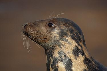 Grey Seal (Halichoerus grypus) female, Lincolnshire, England  -  Michiel Vaartjes/ NiS
