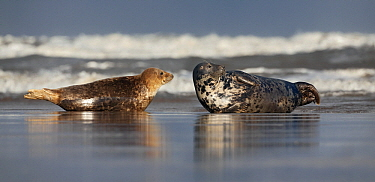 Grey Seal (Halichoerus grypus) pair on beach, Lincolnshire, England  -  Michiel Vaartjes/ NiS