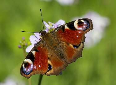 Peacock Butterfly (Inachis io) on Cuckoo Flower (Cardamine pratensis), Ter Hooge, Middelburg, Zeeland, Netherlands  -  Marcel Klootwijk/ NiS
