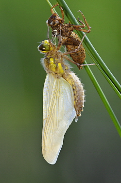 Four-spotted Chaser (Libellula quadrimaculata) dragonfly drying just after emerging from nymphal case, Lower Saxony, Germany  -  Willi Rolfes/ NIS