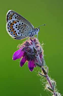 Silver-studded Blue (Plebejus argus) butterfly on flower, Lower Saxony, Germany  -  Willi Rolfes/ NIS