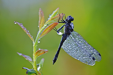 Black Darter (Sympetrum danae) dragonfly covered with dew drops, Lower Saxony, Germany  -  Willi Rolfes/ NIS