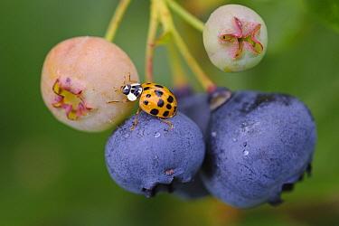 Asian Ladybird Beetle (Harmonia axyridis) on Bilberry (Vaccinium myrtillus) fruits, Lower Saxony, Germany  -  Willi Rolfes/ NIS
