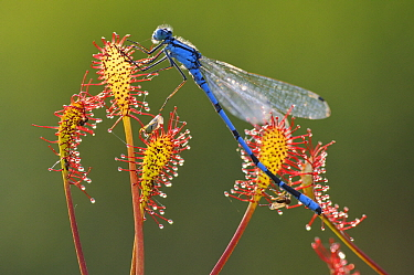 Oblong-leaved Sundew (Drosera intermedia) with trapped dragonfly  -  Willi Rolfes/ NIS