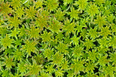 Sphagnum Moss (Sphagnum sp), Lower Saxony, Germany  -  Willi Rolfes/ NIS