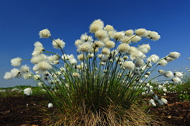 Hare's-tail Cottongrass (Eriophorum vaginatum), Lower Saxony, Germany  -  Willi Rolfes/ NIS