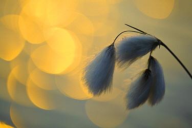 Hare's-tail Cottongrass (Eriophorum vaginatum) at dusk  -  Willi Rolfes/ NIS