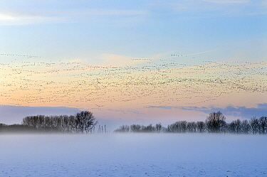 Barnacle Goose (Branta leucopsis) flock flying over snowy winter landscape, Lauwersmeer, Friesland, Netherlands  -  Marcel van Kammen/ NiS