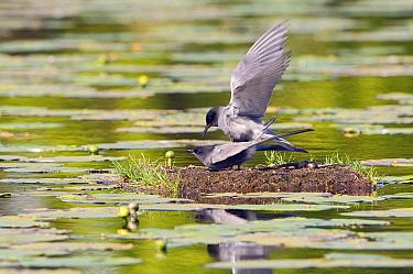 Black Tern (Chlidonias niger) pair mating on nest, Netherlands  -  Marcel van Kammen/ NiS