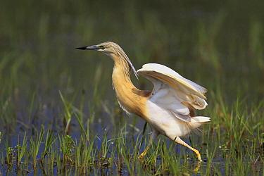 Squacco Heron (Ardeola ralloides) wading through wetland, Lake Kerkini, Greece  -  Martin Woike/ NiS