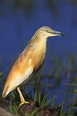 Squacco Heron (Ardeola ralloides), Lake Kerkini, Greece  -  Martin Woike/ NiS
