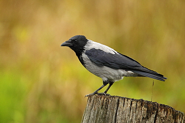 Hooded Crow (Corvus cornix), Mecklenburger Seen, Germany  -  Martin Woike/ NiS