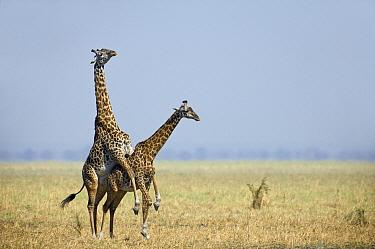 Masai Giraffe (Giraffa tippelskirchi) pair mating, Katavi National Park, Tanzania  -  Andre Gilden/ NIS