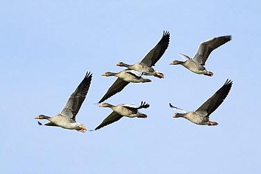 Greylag Goose (Anser anser) flock flying, Texel, Noord-Holland, Netherlands  -  Duncan Usher