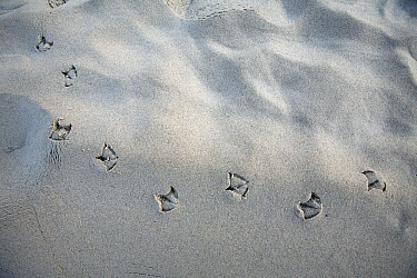 Herring Gull (Larus argentatus) footprints on sandy beach, Texel, Noord-Holland, Netherlands  -  Duncan Usher