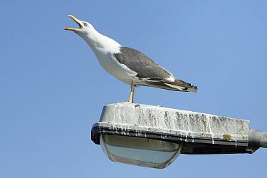 Lesser Black-backed Gull (Larus fuscus) calling from street light, Texel, Noord-Holland, Netherlands  -  Duncan Usher