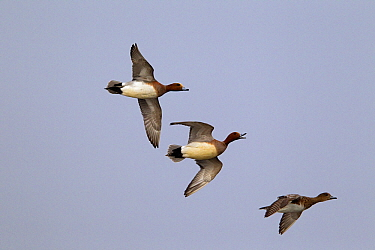 Eurasian Wigeon (Anas penelope) drakes and females flying, Netherlands  -  Gerard de Hoog/ NiS
