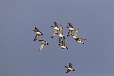 Eurasian Wigeon (Anas penelope) flock flying, Netherlands  -  Gerard de Hoog/ NiS