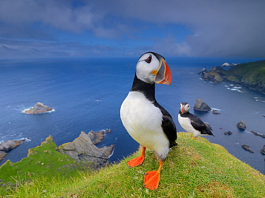 Atlantic Puffin (Fratercula arctica) pair on cliff, Hermaness, Shetland Islands, Scotland, United Kingdom  -  Melvin Redeker / Buiten-beeld