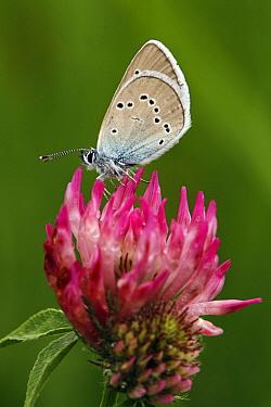 Mazarine Blue (Cyaniris semiargus) butterfly  -  Silvia Reiche