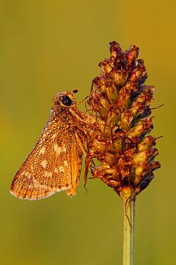 Silver-spotted Skipper (Hesperia comma) butterfly  -  Silvia Reiche