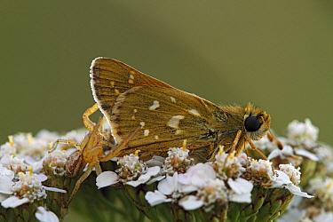 Silver-spotted Skipper (Hesperia comma) butterfly on Common Yarrow (Achillea grandifolia)  -  Silvia Reiche